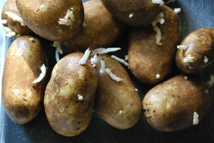 sprouted-potatoes